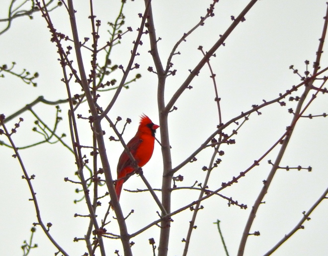 March 2015: Our singing Cardinal has returned!